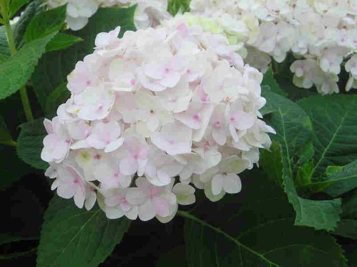 blushing bride hydrangea 3 4 39 h x 4 5 39 w full to partial sun large white ball shaped flowers. Black Bedroom Furniture Sets. Home Design Ideas