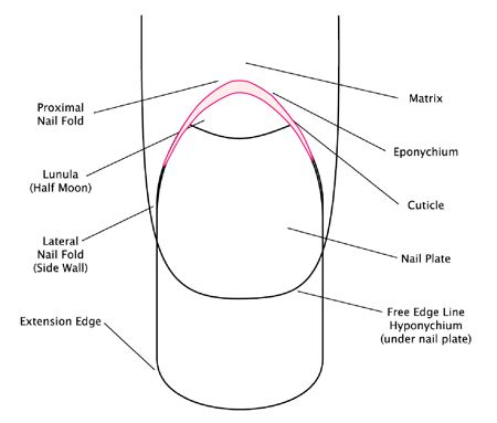NSI Site - Good description of what the cuticle is and how it is different from the eponychium. Two good labeled diagrams of the nail.