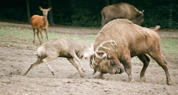 I think this buck is a little out matched against this bison.