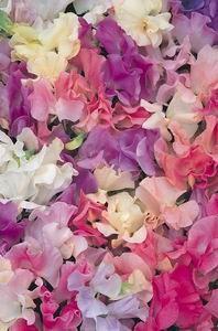 Ervilhas de cheiro ,lindas e perfumadas!