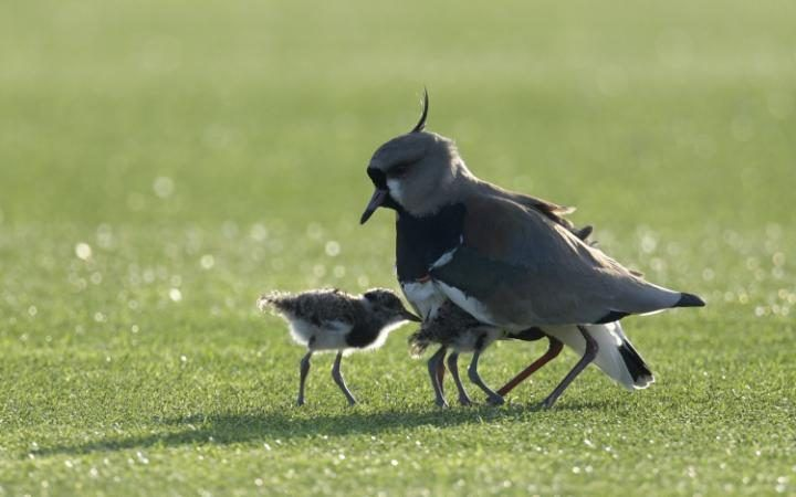 A female tero bird and its chicks are seen during Argentina's football team training session in Ezeiza, Buenos Aires.