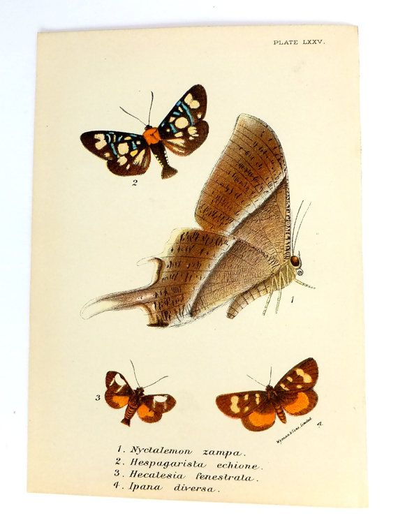 Antique Moths Picture, 1890s, Housewares, Picture of Moths, Vintage Moths, Antique, Lepidoptera on Etsy, £18.00