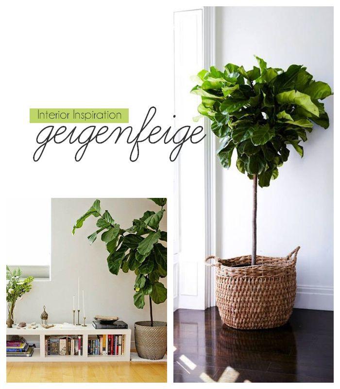 die 25 besten ideen zu geigenfeige auf pinterest ficus indoor feigenb ume und inndoor pflanzer. Black Bedroom Furniture Sets. Home Design Ideas
