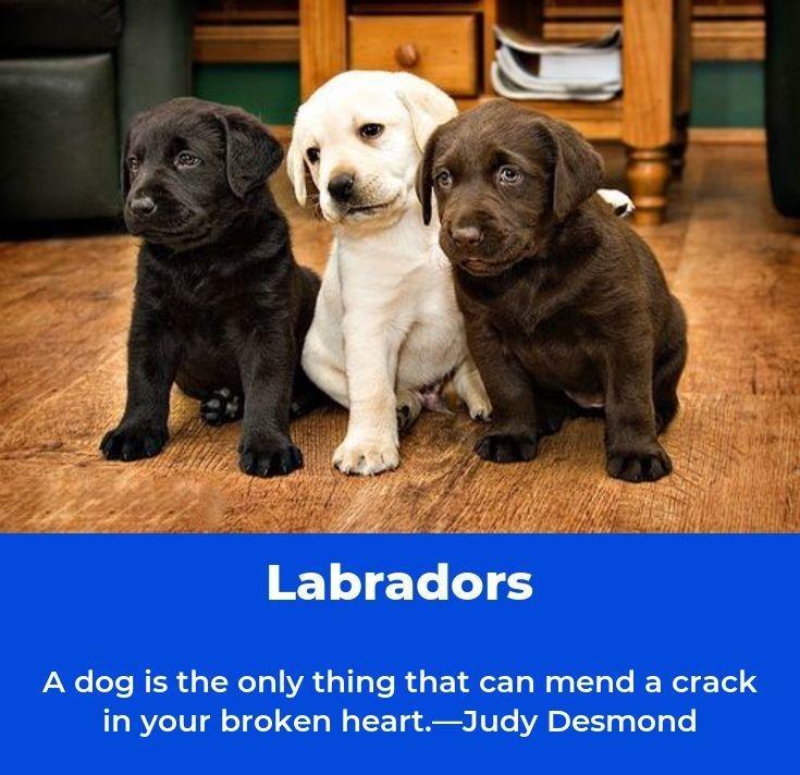 Labrador Retriever Intelligent And Fun Loving Susse Hunde Tier