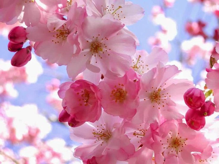 Gambar Bunga Sakura - Segerombol Bunga
