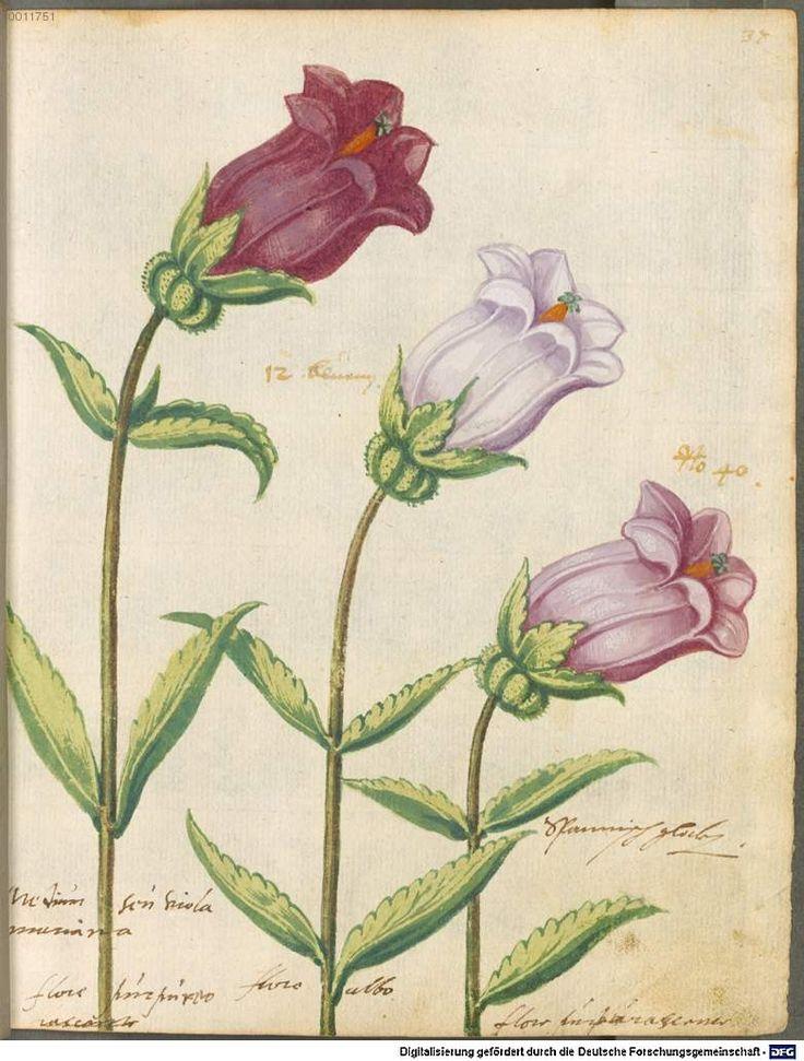 14 best canterbury bells images on Pinterest   Canterbury, Botanical ...