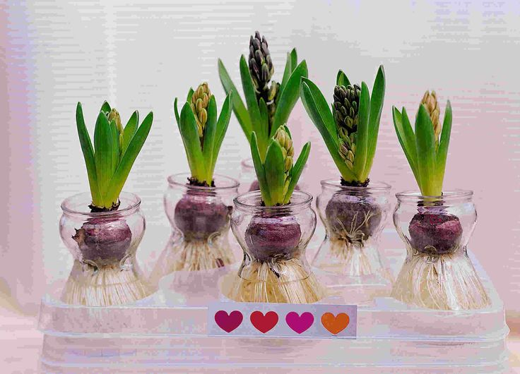 Image detail for -Hyacinths and Paperwhites   MICHELLE PHAM – Musings and Designs