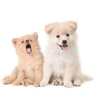 Pomeranian Brother And Sister Looking For Small Dog Names Cute
