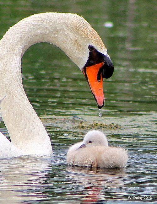 Beautiful Swan and cygnet