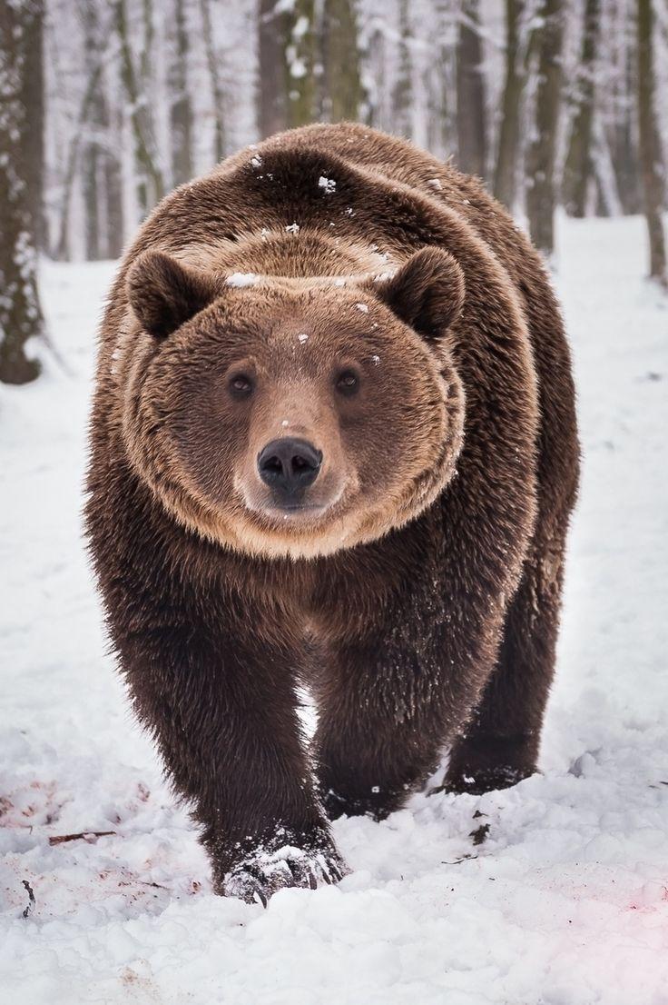Para que título?!?! Urso marrom ou pardo