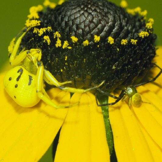 A species of crab spider, Misumenoides formosipes, is able to slowly change its color to match its background when hunting, a rare ability in the animal kingdom, says a Ball State University professor.