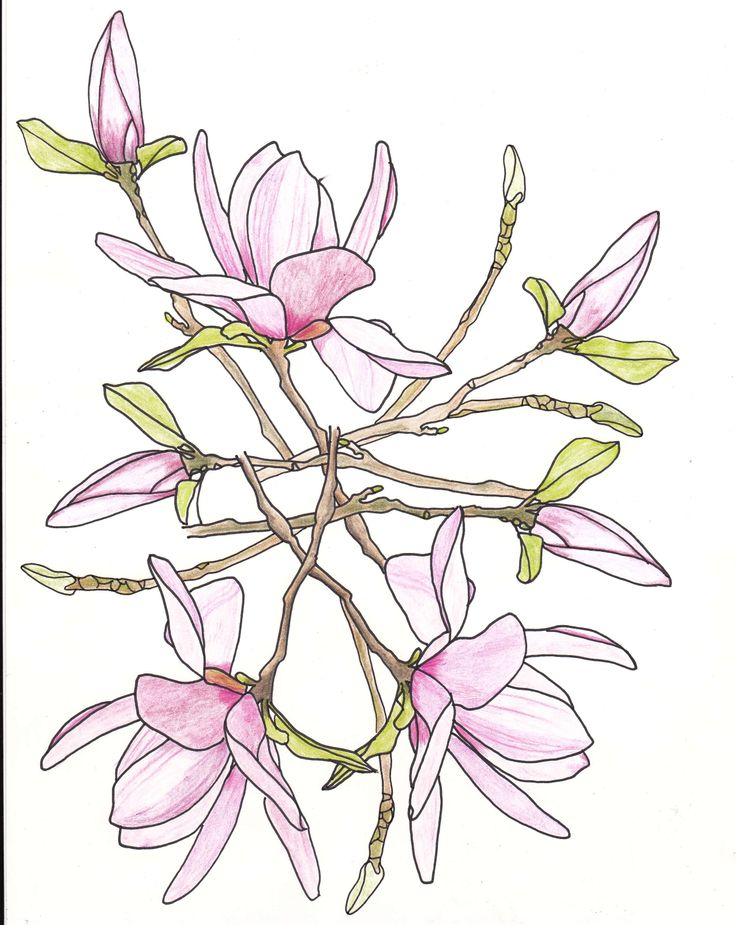Honeysuckle Flower Line Drawing : Line drawing flowers tulip tree drawings pinterest