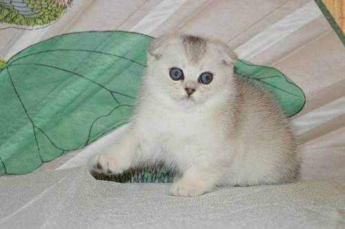 jhsj Family Raised Scottish Fold Kitten Ready $500,they are both males and female vet check and current on shots,text me via,404*xx594*xx 2942 for details and pics. $500.00 USD