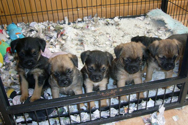 """Since Border Terriers are """"essentially working terriers"""", many Border Terrier owners think about it essential to test and create their dogs' instinct."""