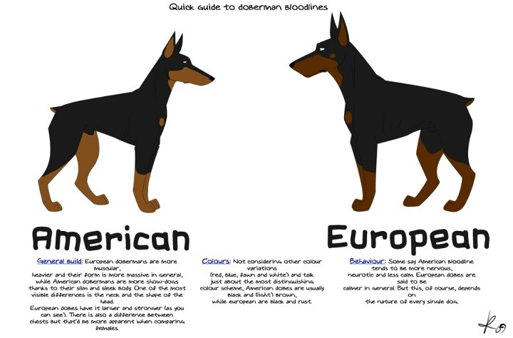 American vs European dobermans