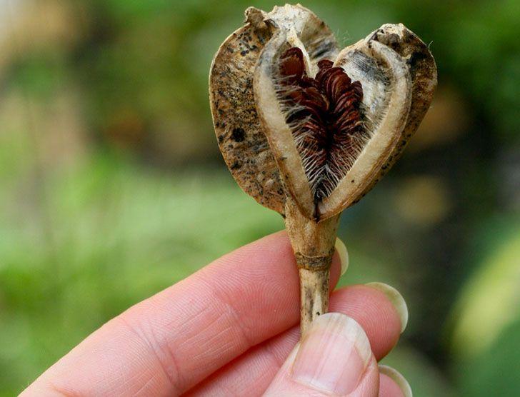 Tulip Seed Head