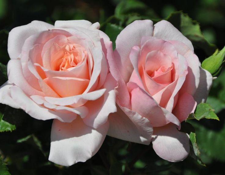 Francis Meilland Hybrid Tea Rose | Michèle Meilland, Hybrid Tea rose