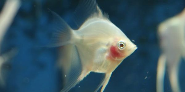 17 best images about angel fish tag on pinterest for White fish types