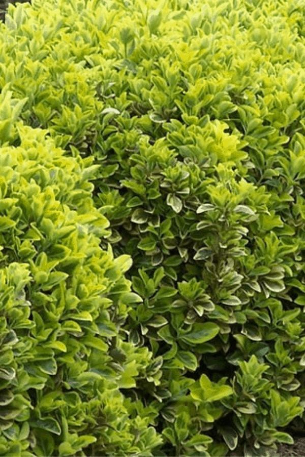 7 Fast Growing Evergreen Trees And Shrubs Fast Growing