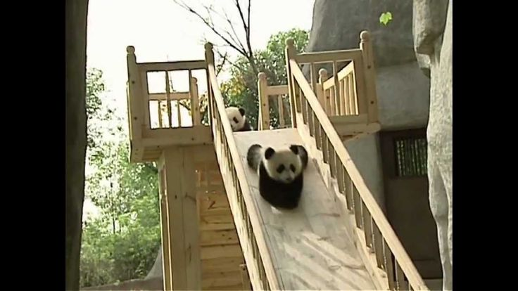 @Mia Reason  Pandas playing on a slide!!  Cuteness overload!!!!!