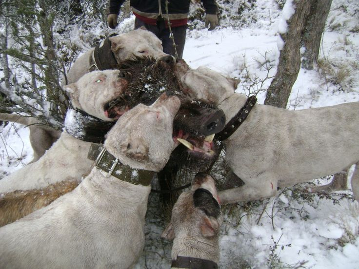#Dogo Argentino hunting pack.  #Dogo Argentino hoggin......BTW look at the size of that boar!