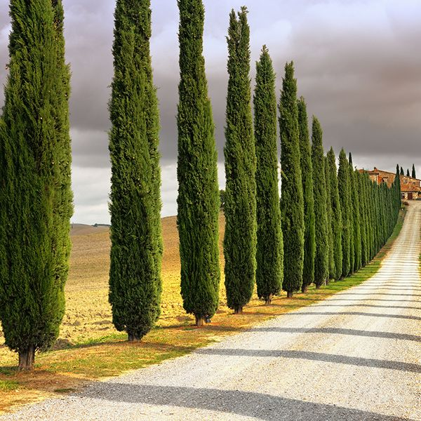 Tuscan House Style With Front Walkway And Italian Cypress: The 25+ Best Italian Cypress Trees Ideas On Pinterest