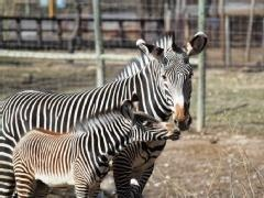 97 best everyday conservation images on pinterest conservation omahas henry doorly zoo is welcoming a zebra foal born on feb publicscrutiny Gallery