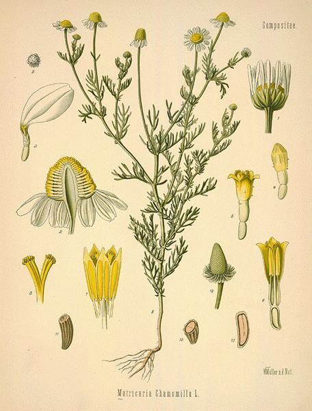 Matricaria recutita — Chamomile [indigestion, tension + anxiety]