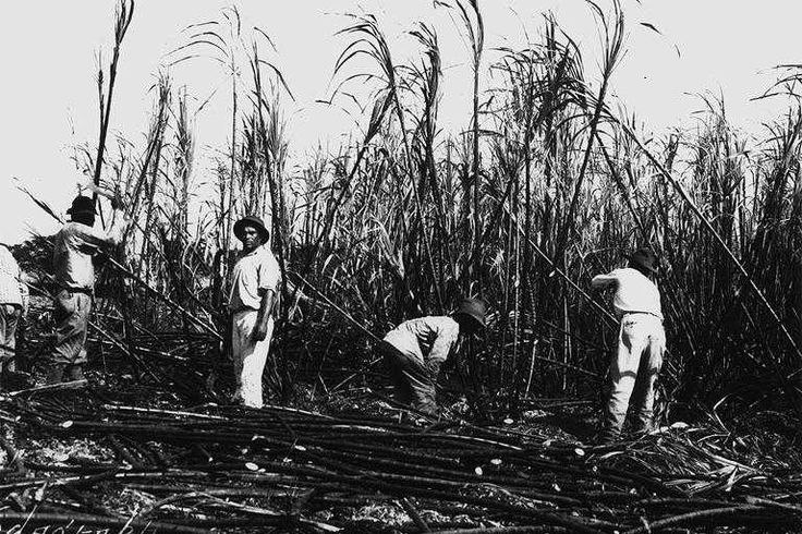 sugar plantation The cambodian sugar cane industry, the story of thousands of people, displaced from their homes and farmlands, in the name of 'development.