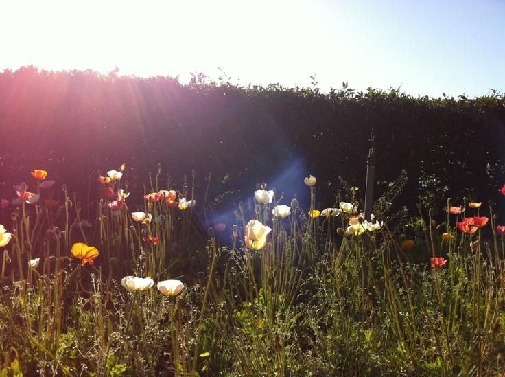 Poppies, King Edward Park, Newcastle NSW