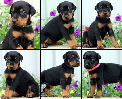 female doberman puppies for sale - www.sierradobiefarms.com
