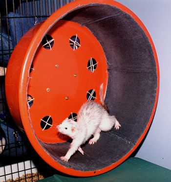 DIY Ferret Exercise Wheel - PetDIYs.com