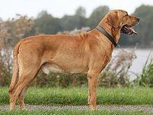 La Dinamarca Broholmer es un perro que se parece mucho a un mastín . Es grande y potente, con un impresionante ladrido fuerte y pie dominante. Un Broholmer bien entrenado debe ser tranquilo, con buen carácter, y amable, sin embargo vigilante hacia los extraños. Las hembras se colocan alrededor de 27,5 pulgadas (70 cm) y pesan 90-130 libras (41-59 kg). Los machos se colocan alrededor de 29,5 pulgadas (75 cm) y pesan 110-150 libras (51-69 kg). El cuerpo está construido cuadrado y rectangular…