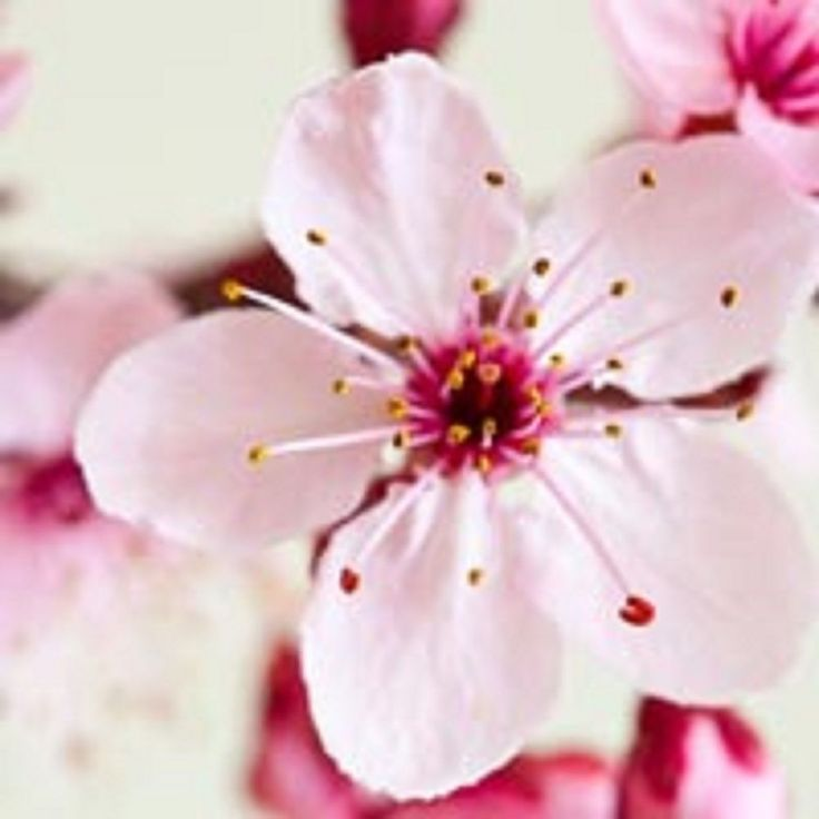 Japanese Cherry Blossom BBW Type Fragrance Oil Soap And Candle Making Supplies  #VCS