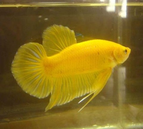 142 best images about siamese fighting fish on pinterest for Largest betta fish
