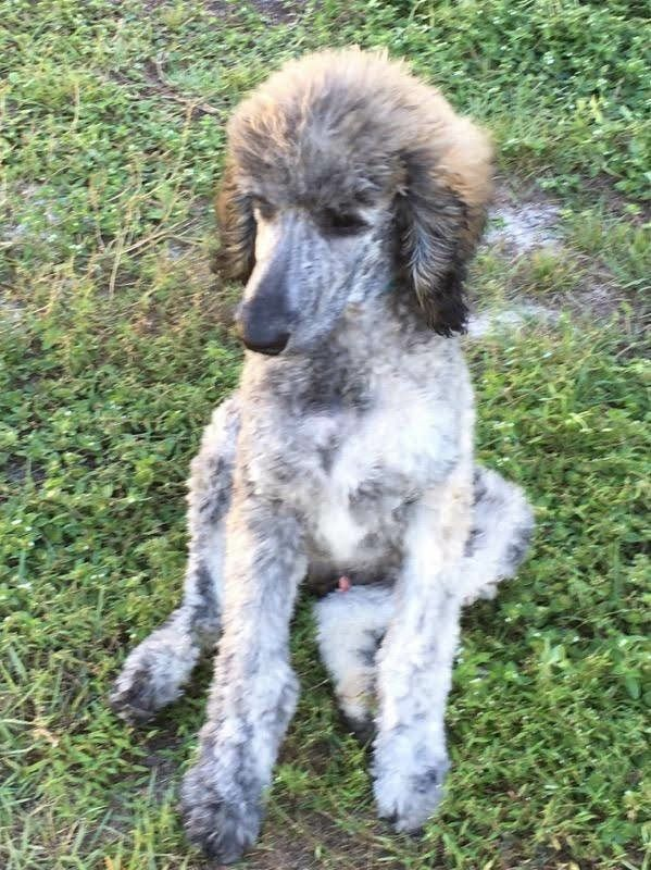 Zak A Brindle Standard Poodle Puppy From Emerald Coast Breeders