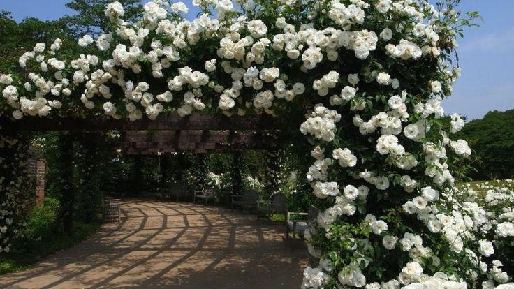 Rosa Trepadeira cor Branca Flores em Cachos - Jardim Exótico - O maior portal de mudas do Brasil.