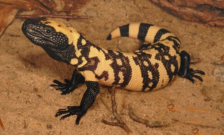 The Gila monster (Heloderma suspectum) is a species of venomous lizard native to the southwestern United States and northwestern Mexican state of Sonora.