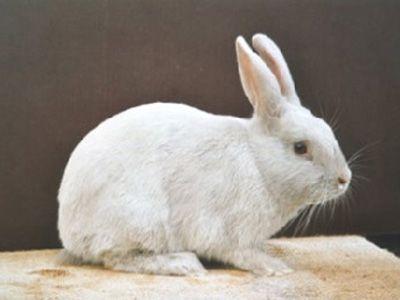 Cuniculture - Photothèque races de lapins originaires de Belgique. Gris perle de Halle
