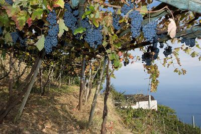 Grapes growing at the Marisa Cuomo winery in Furore, Italy. Credit: Cantine Marisa Cuomo