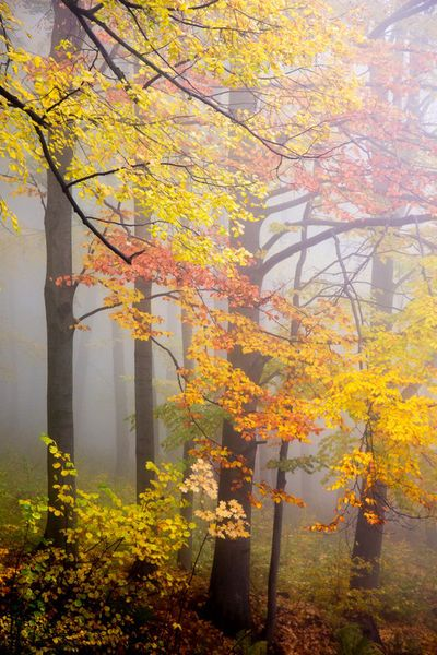 ~~Fall and Fog ~ colorful beech trees in a foggy october forest by David Pinzer~~