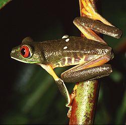 Punasilmälehtisammakko (Agalychnis callidryas)
