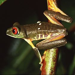 """Family: Hylidae, Order: Anura; family of frogs referred to as """"tree frogs and their allies""""; include a diversity of frog species; can lay eggs in potholes and other temporary ponds"""