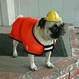 """I'm on guard duty today.  www.jointhepugs.com  #pug #pugpower #pugsnotdrugs #pugpuppy #puglove #cuteness #pugs #puglover #pugnation"
