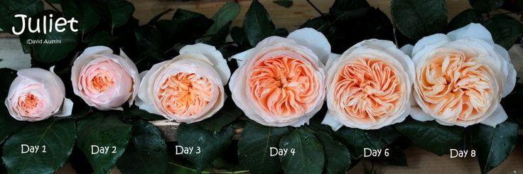 David Austin Wedding Rose Juliet bloom stages per day