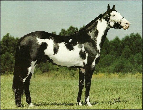 overo horses pics | Black & White Overo Stallion - Page 3