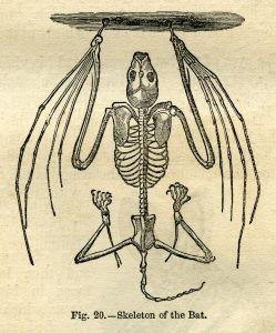 vintage halloween clip art, bat clip art, black and white illustration, graphic design, bat skeleton