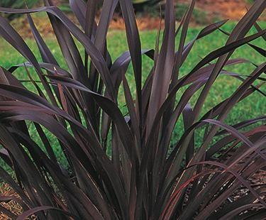 New Zealand Flax   Bloom IQ
