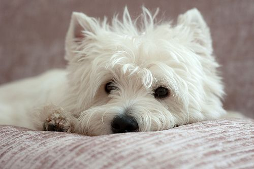 WEST HIGHLAND WHITE TERRIER - Perros y astrologia