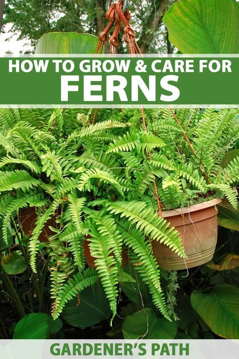 How to grow ferns add a touch of jurassic park to your - How often should you water your garden ...